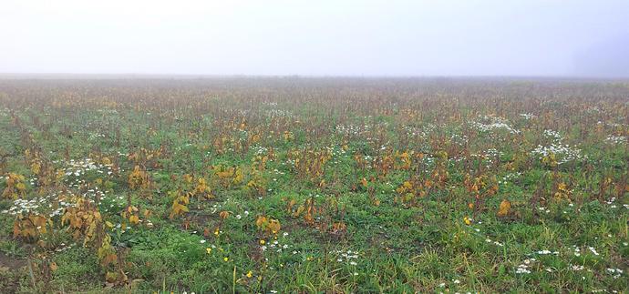Eesti sojapõld oktoobris